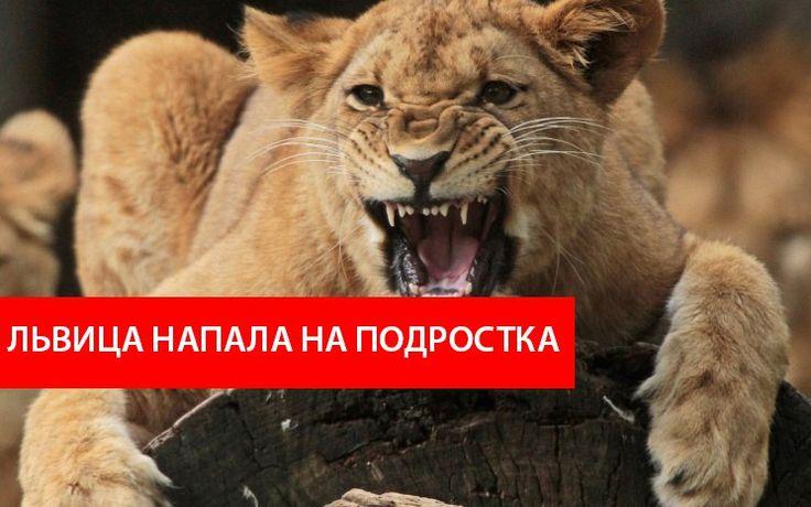 Прокуратура области начала проверку по факту нападения льва на энгельсского подростка Подробнее http://www.nversia.ru/news/view/id/104417 #Саратов #СаратовLife