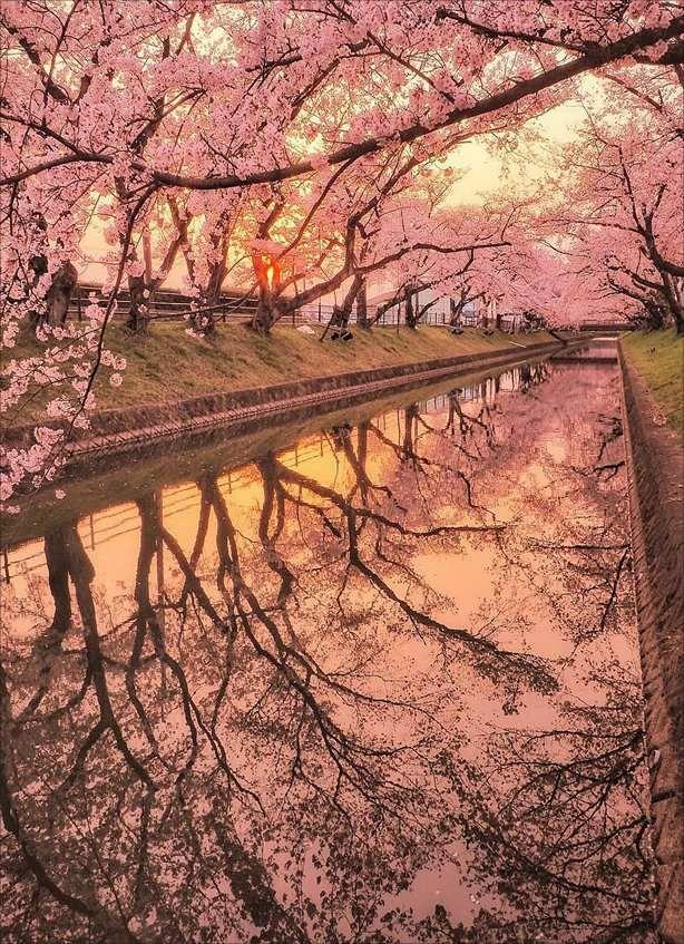 Cherry Blossoms Cherry Blossom Wallpaper Cherry Blossom Japan Sakura Tree