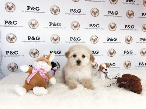Maltese-Poodle (Toy) Mix puppy for sale in TEMPLE CITY, CA. ADN-68457 on PuppyFinder.com Gender: Female. Age: 9 Weeks Old