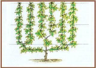 Ранние американские сады: Ранние американские шпалере и настенные Деревья