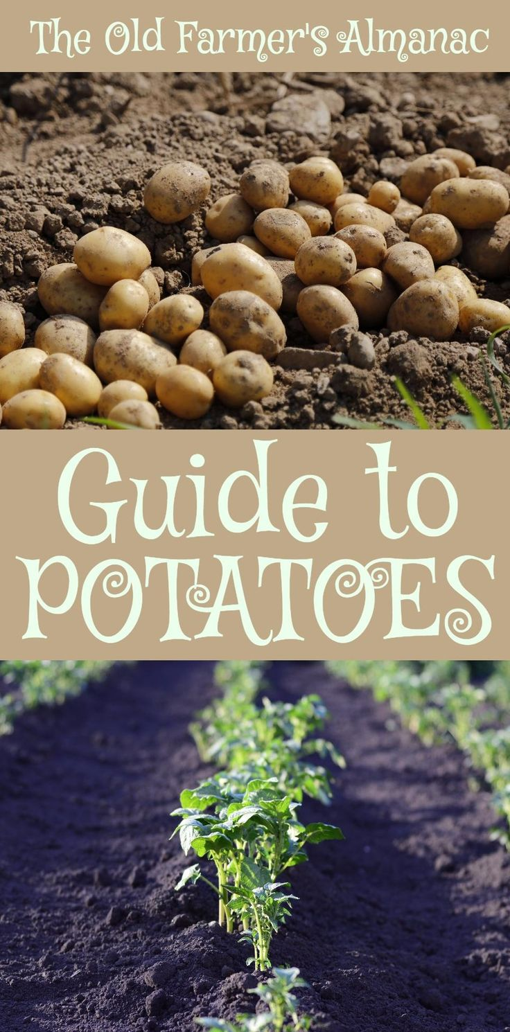 The Complete Old Farmer's Almanac guide to Potatoes: How to plant, grow, cultivate, and harvest Potatoes. Information for Potatoes on Almanac.com!