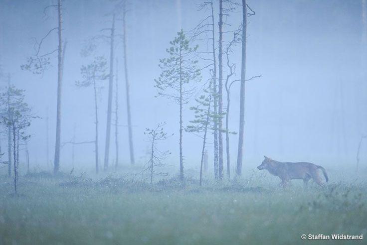 #Kuhmo # Wolf # Foggy # Early # Morning
