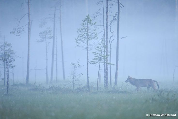 #Kuhmo # Wolf # Foggy # Early # Morning