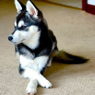 Or they can sit there with their paws crossed like proper little gentlemen. | 17 Reasons Alaskan Klee Kai Are The Absolute Cutest