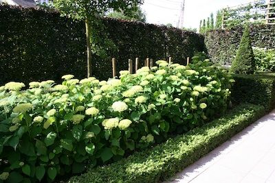 pretty contrasts: buxus, taxus and hortensia arborescens 'Annabelle'
