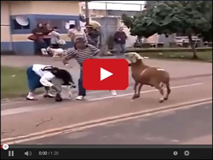 Zachowywać się jak bydło http://www.smiesznefilmy.net/smieszne-koty #zwierzeta #animals #cow
