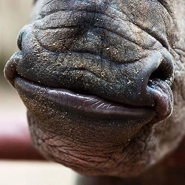 The rhinos are smiling today after the news that China have promised to ban ivory trade by the end of 2017  Hopefully this will mean a more promising year for the rhinos   @babyrhinorescuesos