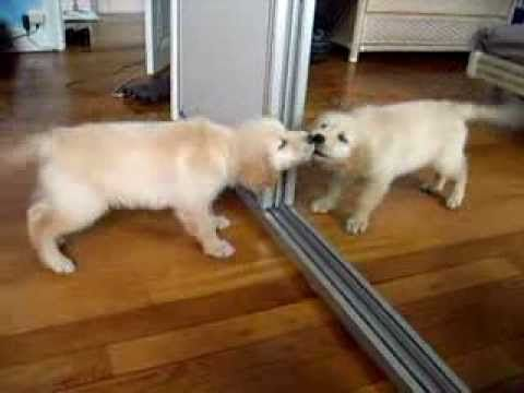 ▶ Retriever puppy playing with mirror - YouTube