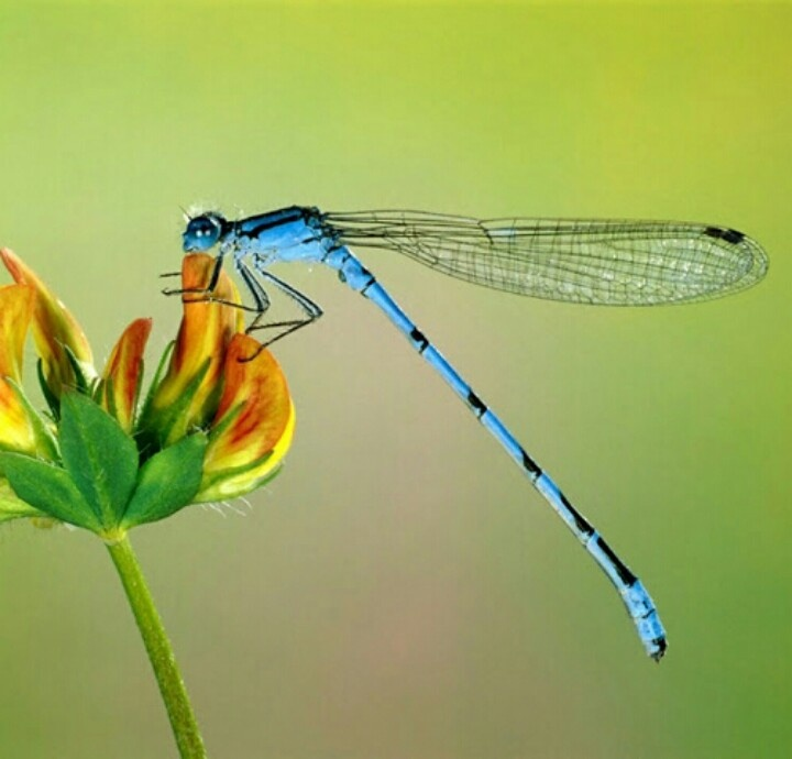 Iridescent Dragonfly Wings Photograph by Ed Gleichman |Iridescent Dragonflies