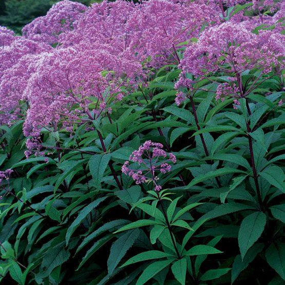 Deer resistant! Eupatorium maculatum 'Gateway' ('Gateway' Joe Pye weed) - Fine Gardening Plant Guide