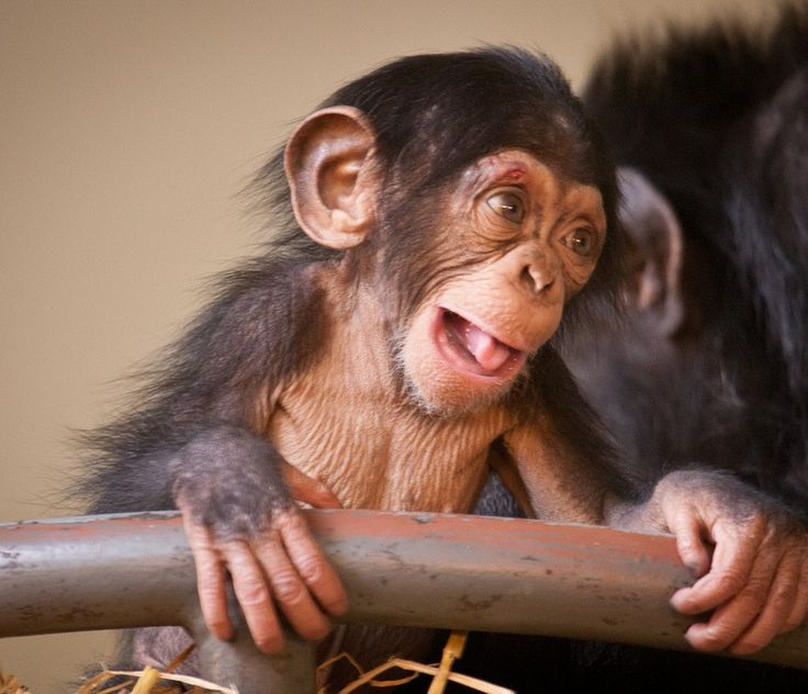 new baby chimp, how CUTE!!!