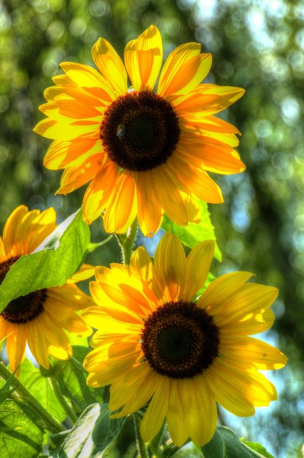Sunflowers in crowd by Oliver ?vob on 500px