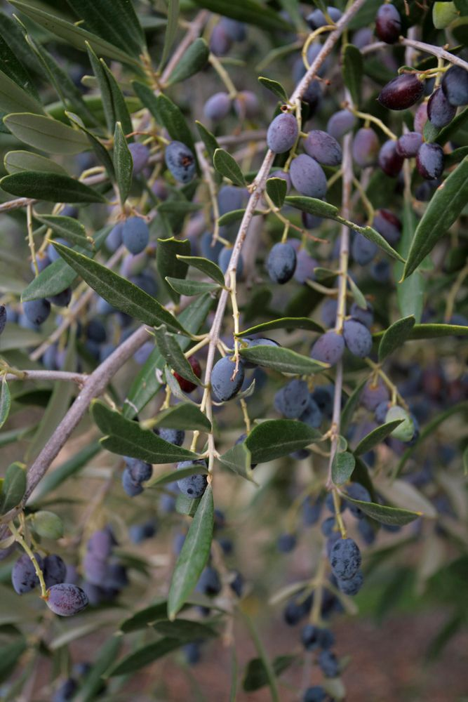 olea europaea fruit olives trees with edible fruits and nuts container. Black Bedroom Furniture Sets. Home Design Ideas
