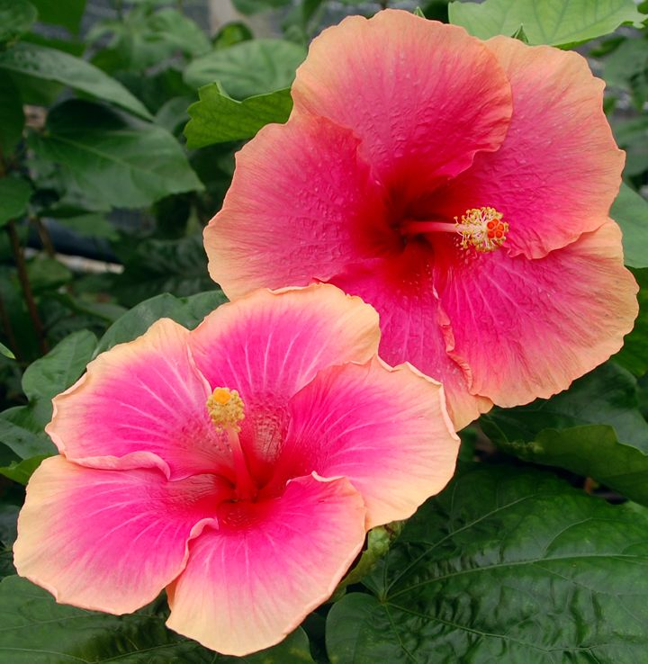 Hibiscus Varieties Pictures: 1000+ Images About Hibiscus, Tropical And Hardy On