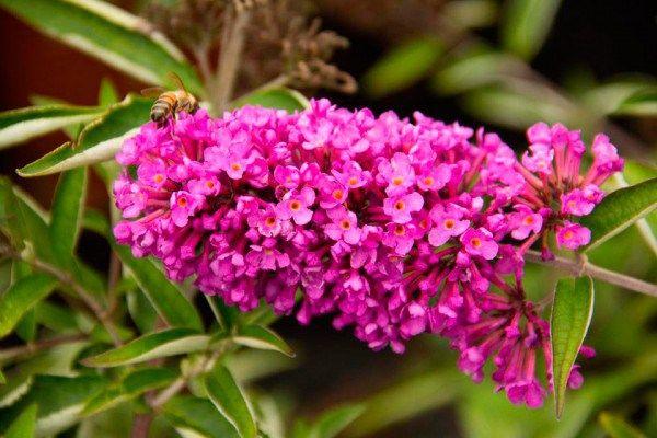 19 Best Butterfly Bush Buddleia Images On Pinterest