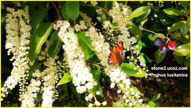 خوخ برتغالي او برقوق برتغالي Prunus Lusitanica قسم الفواكه النبات معلومات نباتية وسمكية معلوماتية Fruit Prunus Grapes