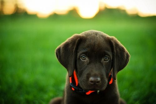 chocolate lab... how can you not love this lil' face?!?!  and those ears!! Awww!!!!