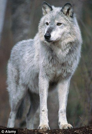 Repopulation: Wolves were reintroduced to Tuscany from the mountains of the Abruzzo in the 1990s, using EU funding  Read more: http://www.dailymail.co.uk/news/worldnews/article-2533397/Mystery-wolf-slayer-leaves-dead-animals-displayed-Tuscan-villages-shot-seven-STRANGLED-one-bizarre-vendetta.html#ixzz2peo0BZu9  Follow us: @MailOnline on Twitter   DailyMail on Facebook