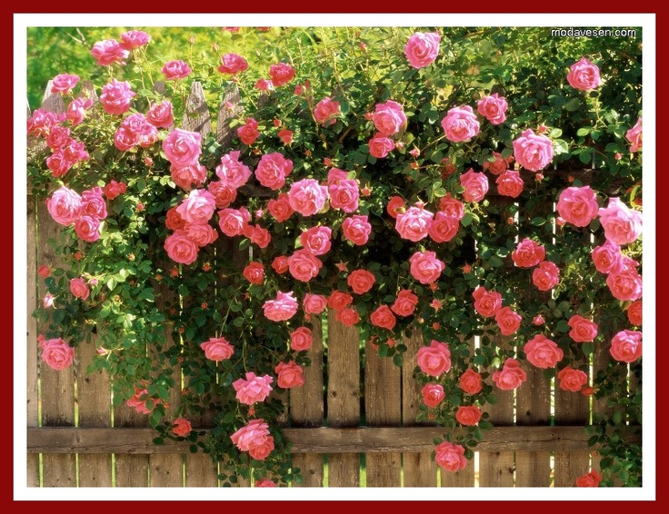 sarmasik gulleri resimleri ve fotograflari: Fence, Pink Roses, Garden Ideas, Beautiful, Climbing Roses, Outdoor, Gardens, Gardening, Flowers