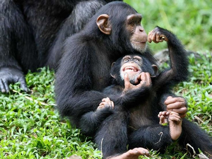 Chimpanzee Sanctuaries in Delhi, India @ Sanctuariesindia.com