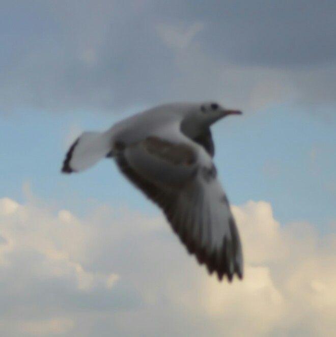 Izmir seagull