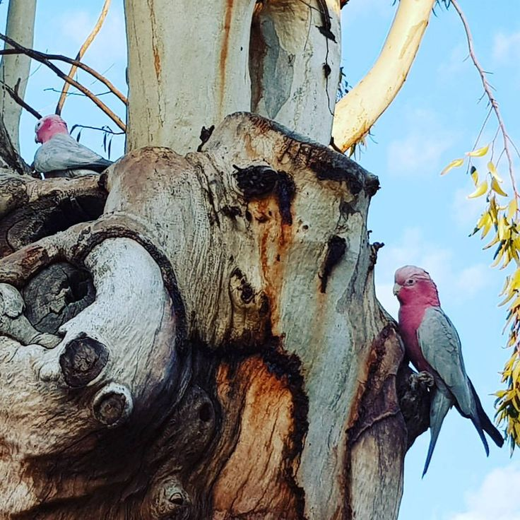 """21 Likes, 1 Comments - The Bank Gallery Space (@thebankspace) on Instagram: """"In addition to an artist in residence we also have a pair of resident galahs in the tree out the…"""""""