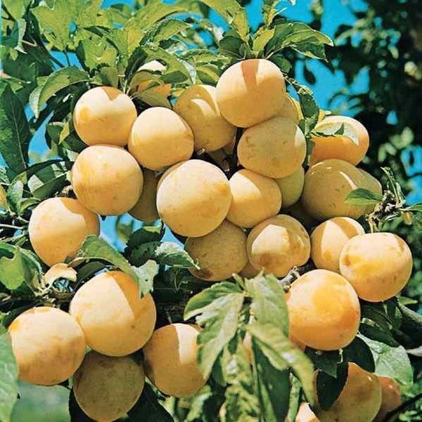 Prunier Reine Claude d'Oullins - Prunus domestica - Massot - Raine-Claude Précoce - Oullins Golden - Fausse Reine-Claude