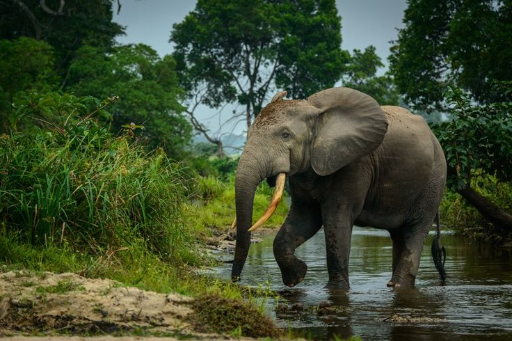 An African forest elephant (Loxodonta cyclotis) crosses a river. Forest elephants are an elusive subspecies of African elephants and inhabit the densely wooded rainforests of west and central Africa. Their preference for dense forest habitat prohibits traditional counting methods such as visual identification. Roger de la Harpe/Getty Images