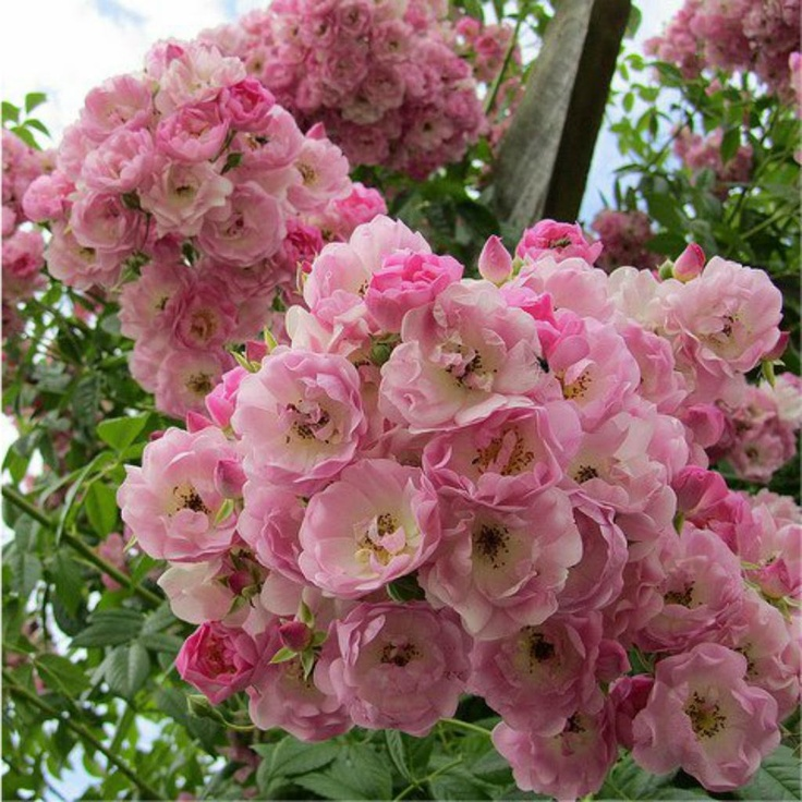 32 best images about climbing roses on pinterest - Climbing plants that produce fragrant flowers ...