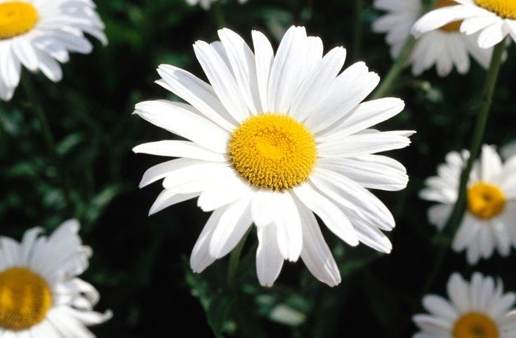 Margarida (Chrysanthemum sp): arbusto que pode atingir até dois metros de altura, tem floração intensa nas variações de cores: branca, vermelha, arroxeada  e rósea. Precisa de dias com poucas horas de luz para florescer e pode ser cultivado a sol pleno ou meia sombra em vasos, maciços ou cercas-vivas. Para mantê-lo vistoso, a poda só é recomendável após o florescimento