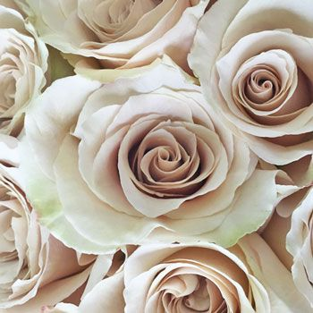 FiftyFlowers.com - Quick Sand Cream Roses, 50 for $100, 150 for $250 ....they're more beautiful than the name!!