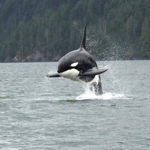 Best I Heart Whales Images On Pinterest Watercolor - Rare moment 40 ton whale jumps completely out of the water