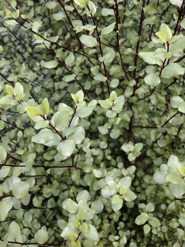 pittosporum tenuifolium silver sheen