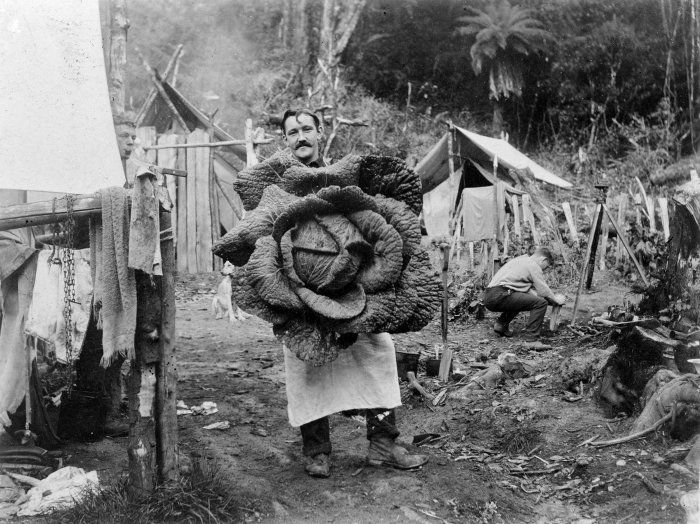 A cook holding up a giant cabbage at a camp in Wairarapa, New Zealand, c.1890s.