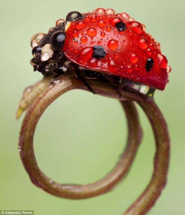 Dew-tiful lady: A ladybird (not ladybug) covered in drops of dew walks across a shoot in Cadiz, Spain