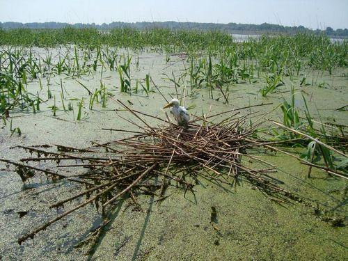 hortobágyi nemzeti park, HNP, kócsag, árvíz, tisza