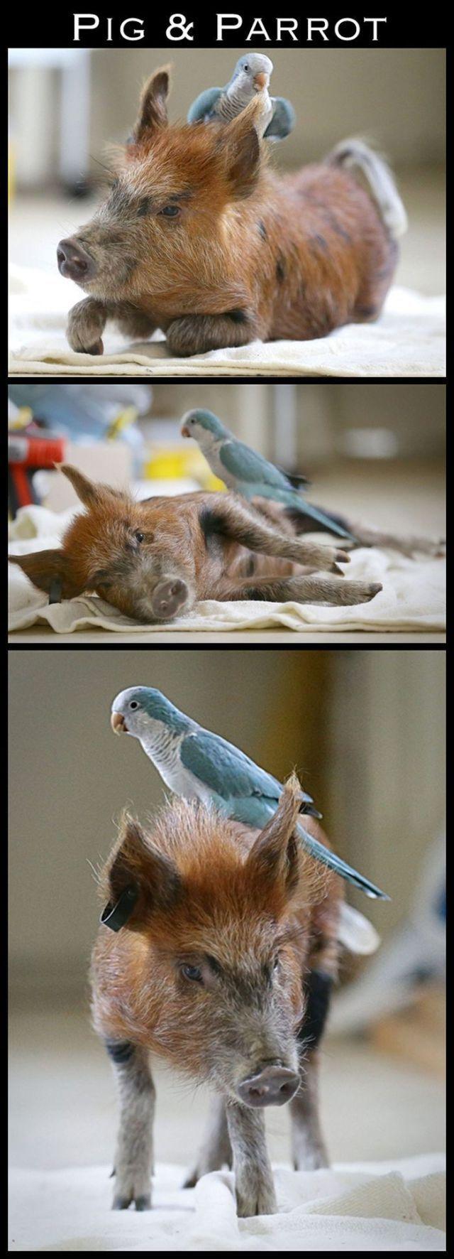 Grisar och papegojor kan också vara vänner.