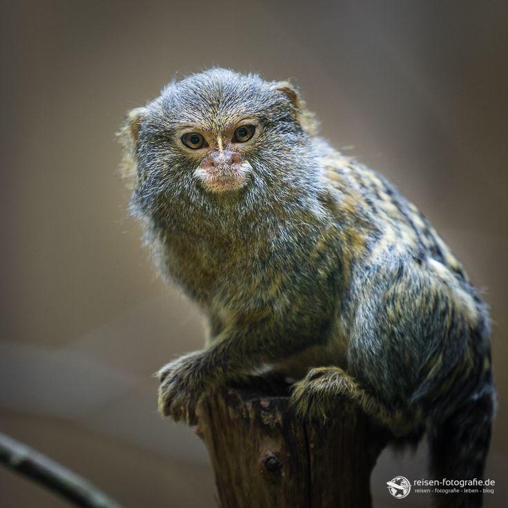 Zwergseidenäffchen im Zoo Amneville