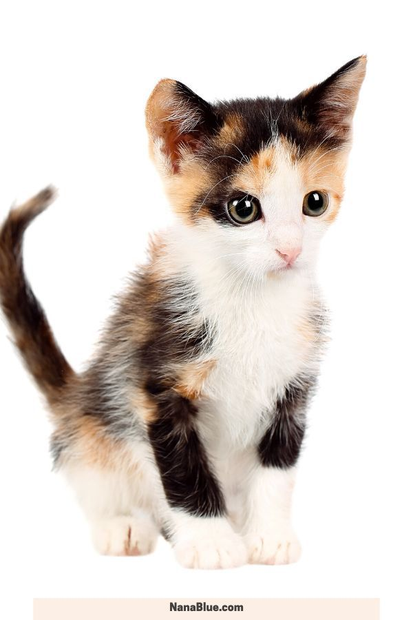 Kitty Cats This Baby Kitty Cat Makes Me Smile Such A Cute Calico Baby See All 31 Kitty Cats Kittycat Kittens Cutest Kitten Breeds Cute Cats And Kittens