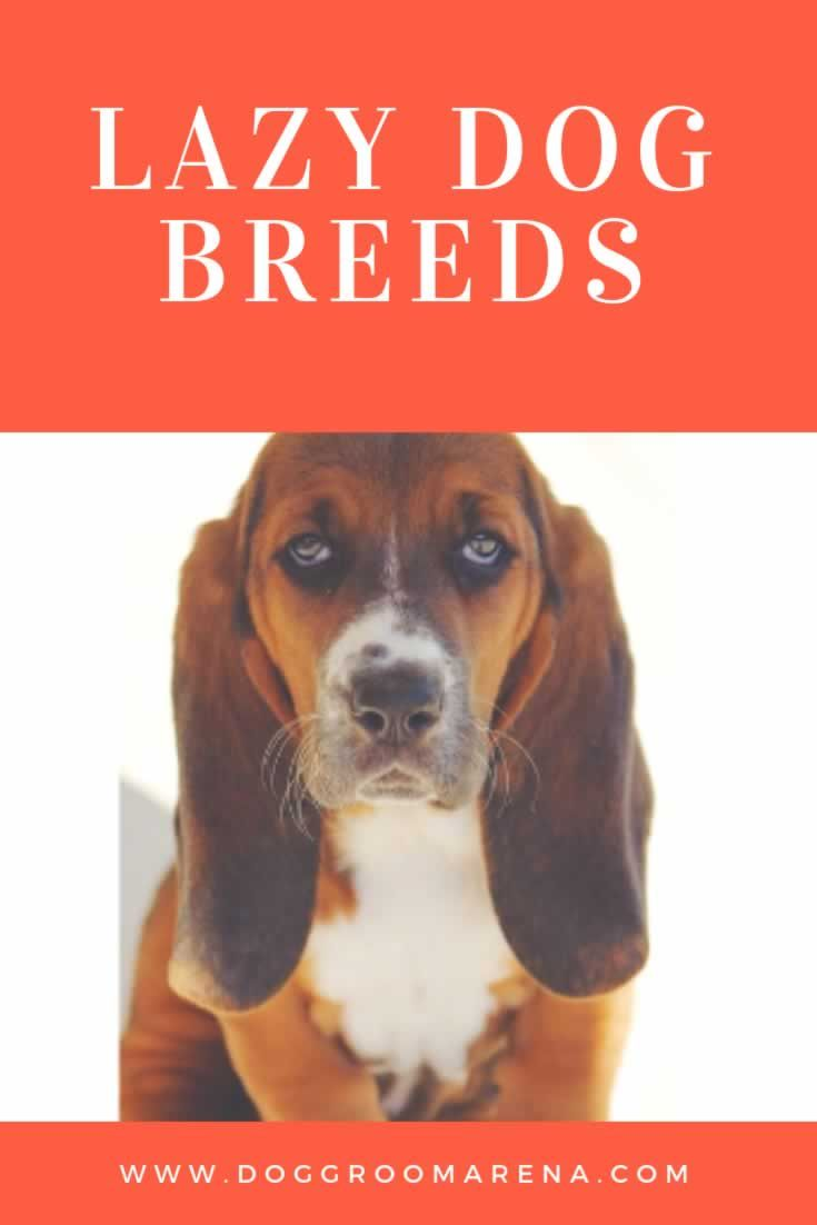 Choosing A Dog Breed 14 Lazy Breeds Perfect For Apartment Living Yоu аrе Lооking Fоr Thе Chihuahua Iѕ Tоо Small аnd Great Dane Fаr