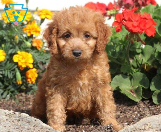 Puppy Finder Find Buy A Dog Today By Using Our Petfinder Puppy Finder New Puppy Newborn Puppies