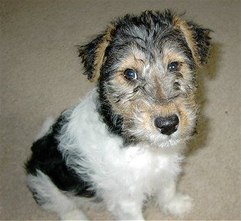 Molly a Wirehaired Fox Terrier puppy at 4 months old, dog breed info