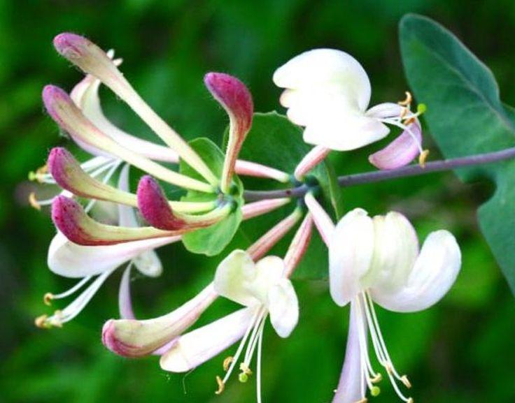 Honey suckle - Lonicera caprifolium