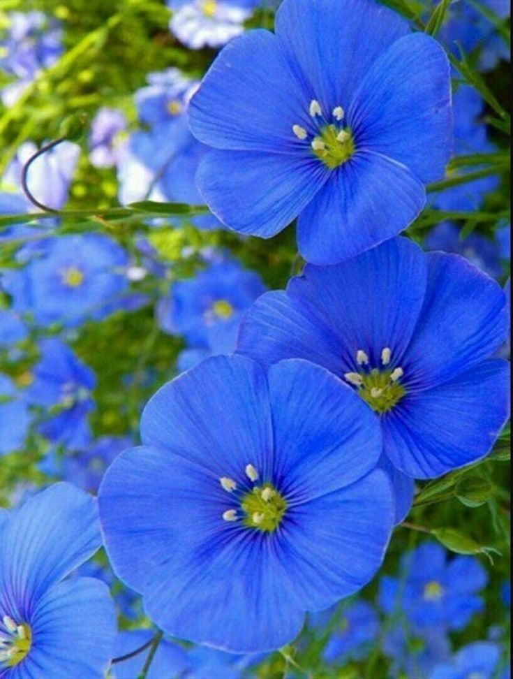 Blueflowerwallpaper Blueflowerwallpaper Blueflowerwallpaper In 2020 Flora Flowers Pretty Flowers Flax Flowers