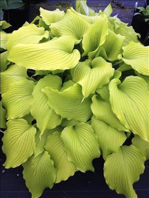 Dancing Queen Hosta - Shade Perennial Large Yellow Hosta Plant