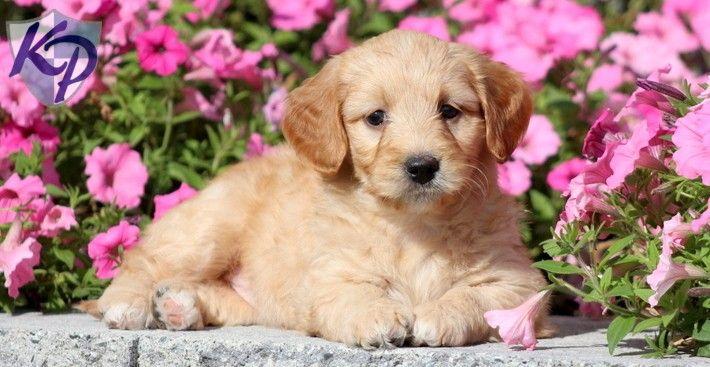 Suzy – Goldendoodle – Miniature Puppy www.keystonepuppies.com  #keystonepuppies  #minigoldendoodle