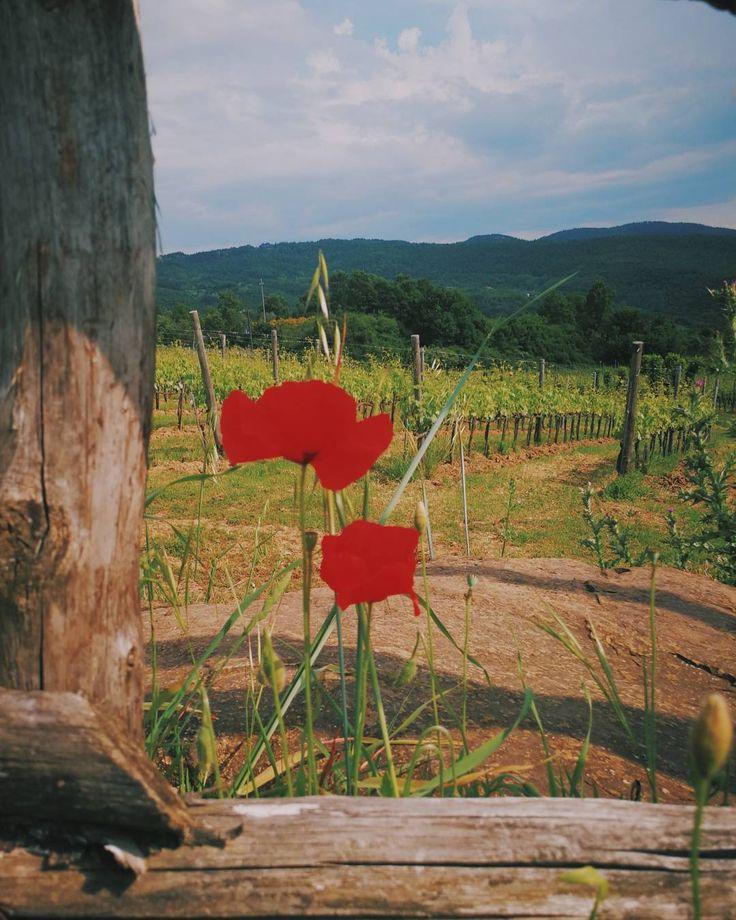 Pomaio's vineyards un a frame.  #thinkgreendrinkred #poderedipomaio