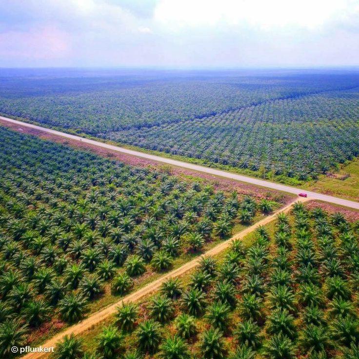 Plantación de Palma Africana en Sayaxché, Petén - foto por @pflunkert via Peteneros   Ve nuestras ultimas publicaciones:  www.MundoChapin.com