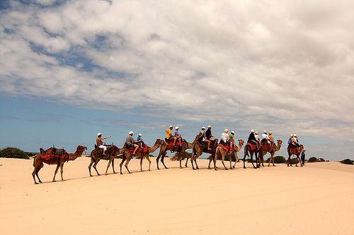 Camels on the Stockton Sand Dunes Anna Bay