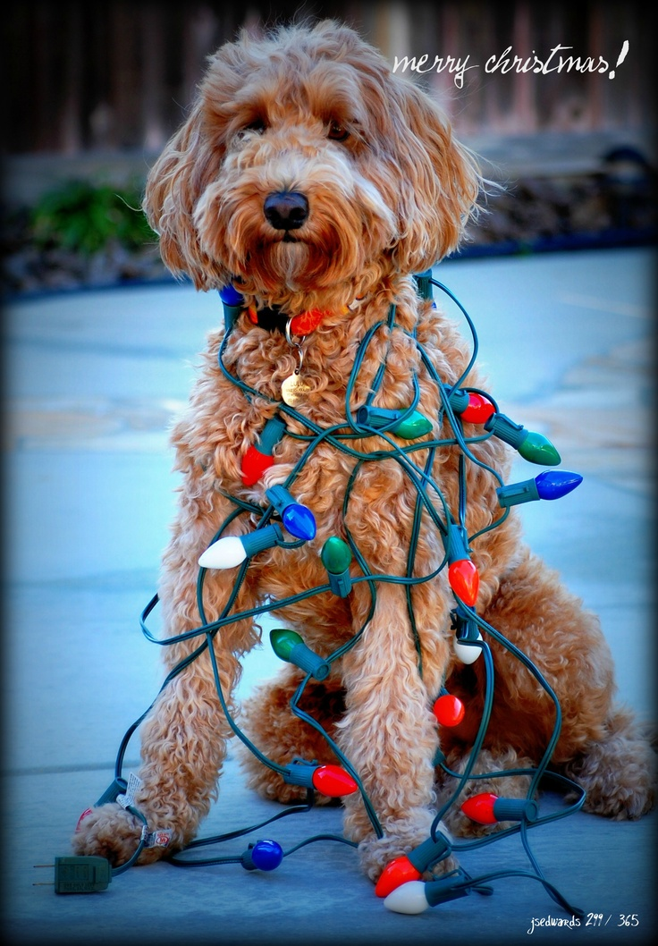 Christmas Goldendoodle Its Begining To Look A Lot Like